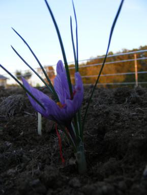 Fleur de Safran Corrèze