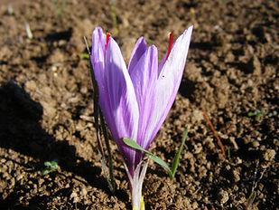 Fleur de crocus sativus