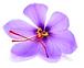 fleur de safran_edited.png