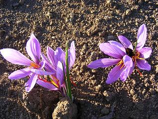 Safran du Chavanon en fleurs