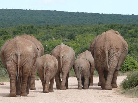Die verscheuchten Elefanten
