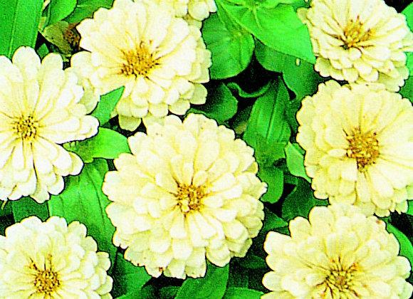 Bedding Plant Zinnia White