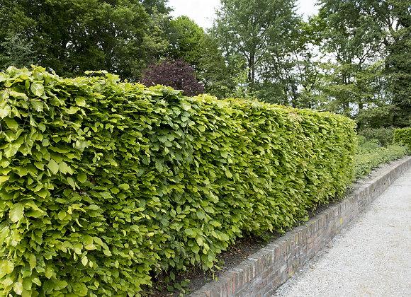 Beech Green (Fagus sylvatica)
