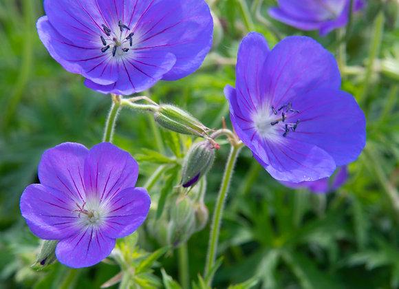 Geranium (Perennial) Johnson`S Blue
