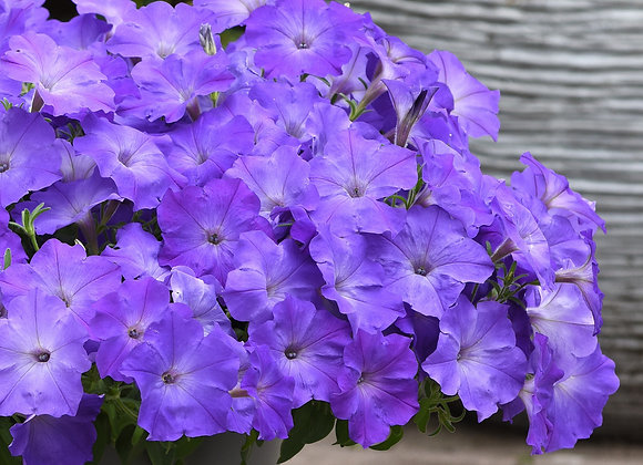 petunia Easy Wave Lavender