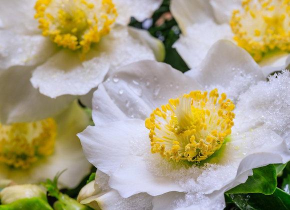 Helleborus (Christmas Rose) Niger