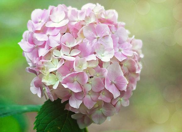 Hydrangea Soft Pink Salsa