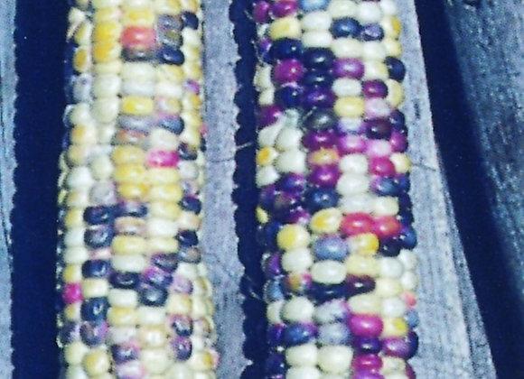 Sweet Corn ornamental Fiesta