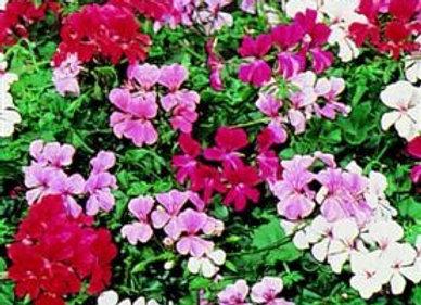 Trailing Plants Geranium