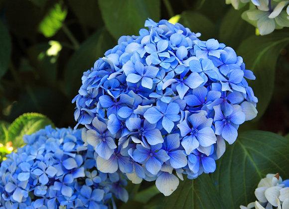 Hydrangea Blue Ballard