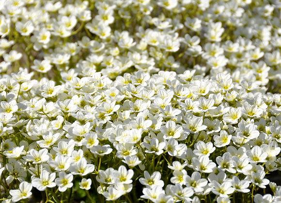 Saxifraga Arendsii Schneeteppich (White)