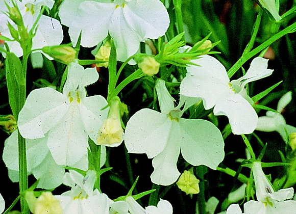 Trailing Plant Lbelia Regatta White
