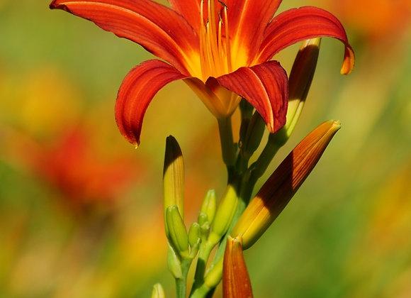 Hemerocallis (Day Lily) Highland Lord