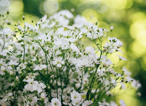 Gypsophila White Chalk Plant