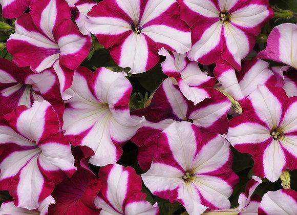 Petunia Easy Wave Burgundy Star