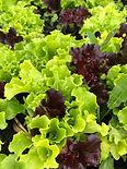 Mixed Baby Leaf Salad.jpg
