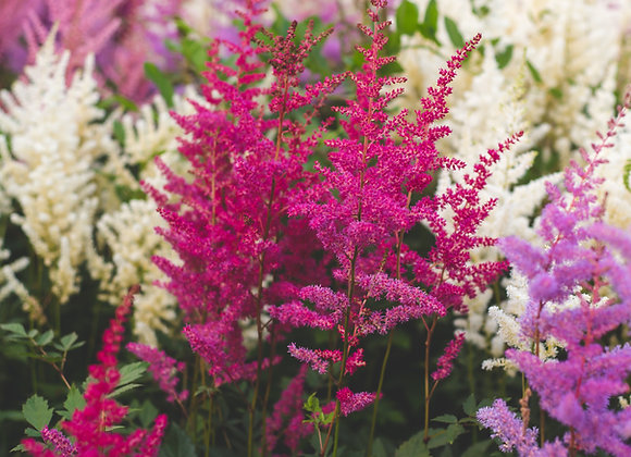 Astilbe - Compact Variety Drum And Bass