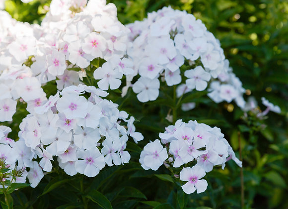 Phlox Paniculata White