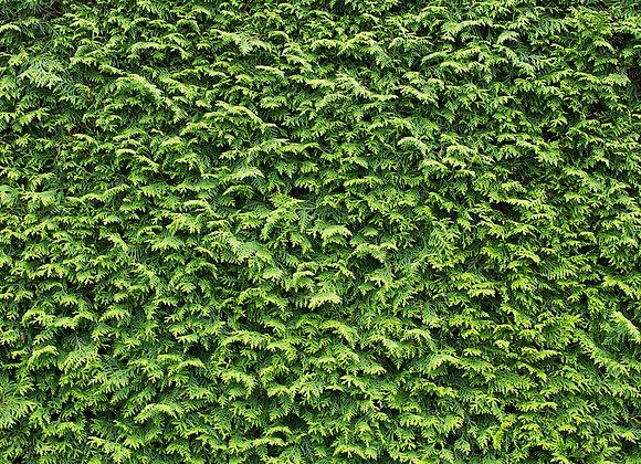 Leylandii Green Conifer