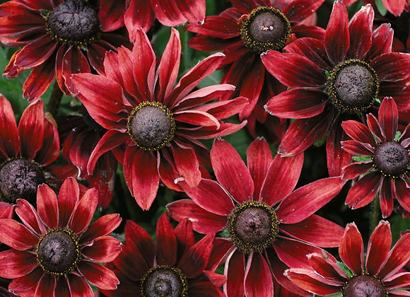 Bedding Plant Rudbeckia Cherry Red