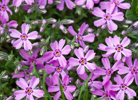 Phlox Subulata Lilac