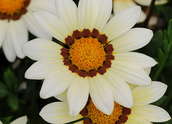 Gazania New Day Day Clear White