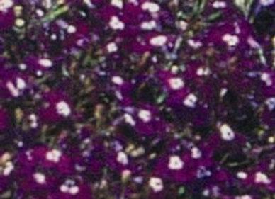 lobelia Regatta Sapphire