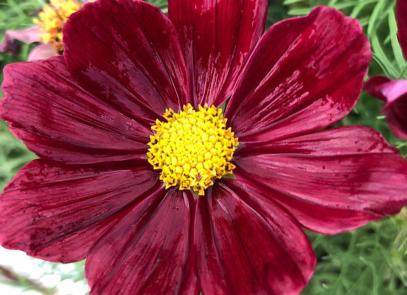 Cosmos Sonata Red