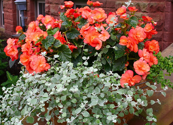 Bedding Plant Begonia Illumination