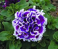 Petunia Double Purple Pirouette