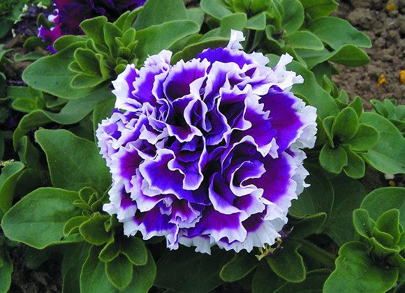 Bedding Plant Petunia Purple and White
