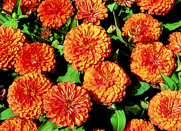 Zinnia Swizzle Dream Land Corral