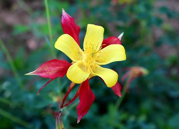 Aquilegia Rostern (Crimson Star)