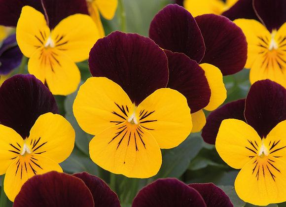 Viola Yellow Burgundy Jump Up