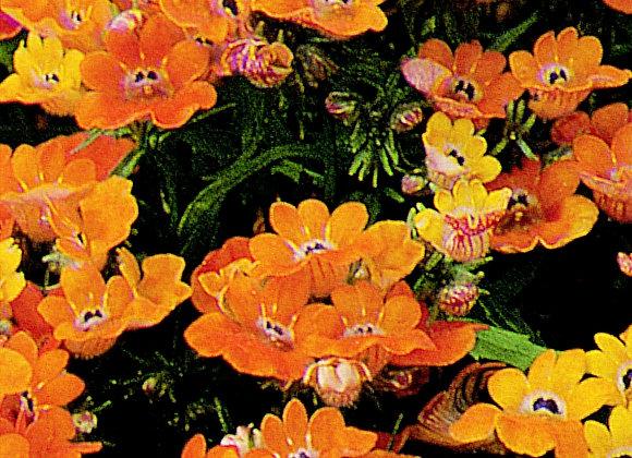 Nemesia Orange Prince