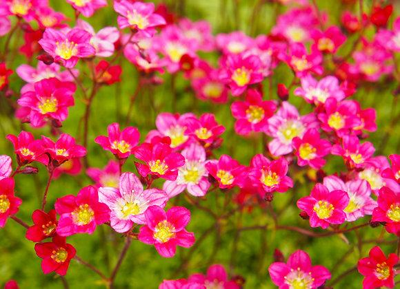 Saxifraga Arendsii Blutenteppich (Pink)