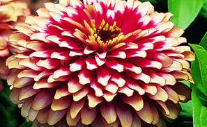 Zinnia Swizzle Cherry And Ivory
