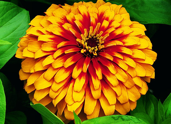 Bedding Plant Zinnia Red and Yellow