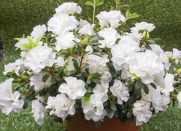 Azalea Japonica (Dwarf Evergreen) White