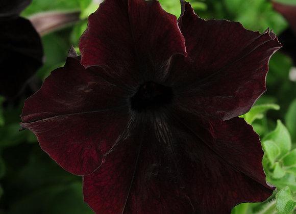 Trailing Plant Petunia Black