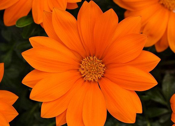 Bedding Plant Gazania Orange
