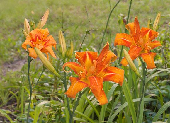 Hemerocallis (Day Lily) Apricot Beauty