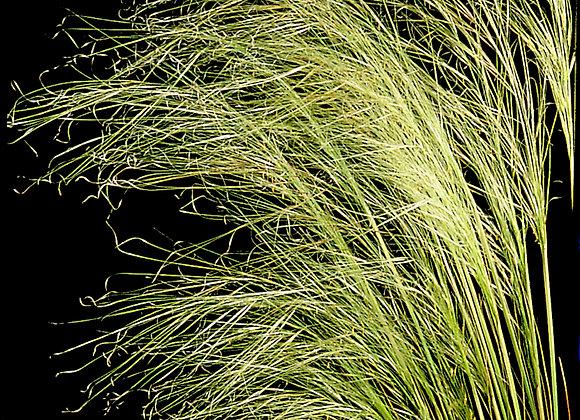 Grass Stipa capillata Bridal Veil