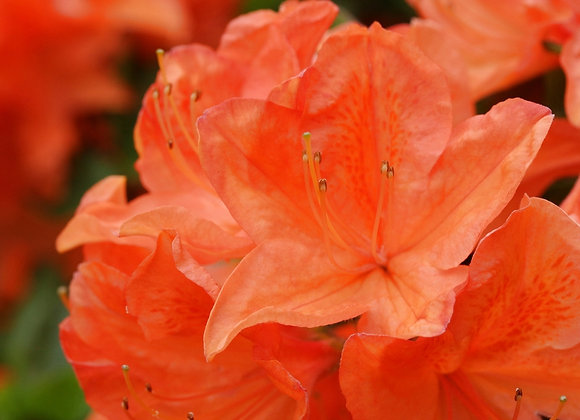 Azalea Japonica (Dwarf Evergreen) Orange