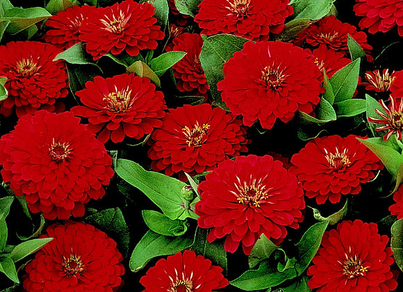 Bedding Plant Zinnia Red