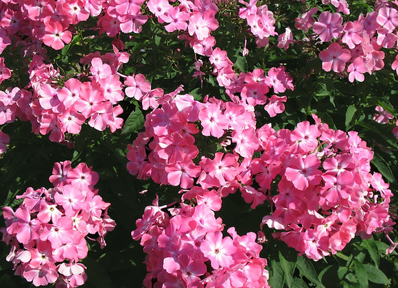Phlox Paniculata Pink