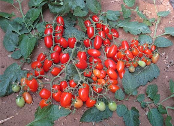 Tomato Modus