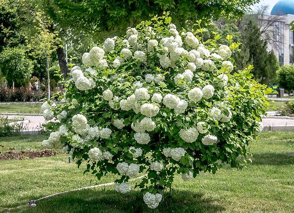 Viburnum Opulus `Roseum` (Snowball Blush)