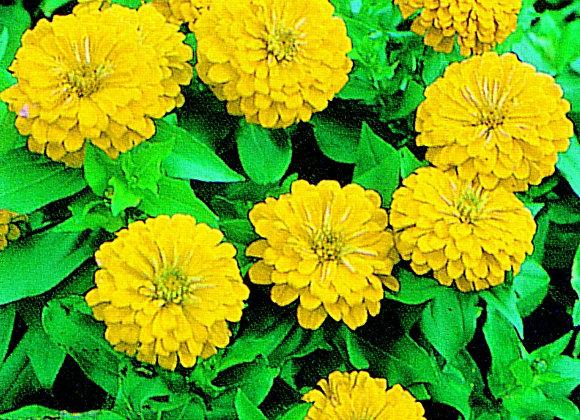 Bedding Plant Zinnia Yellow