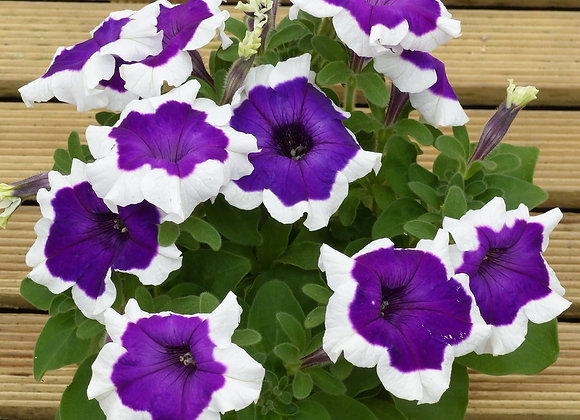 Bedding Plant Petunia Purple and White